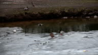 Ducks on the the half frozen river in winter video