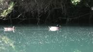 Ducks on water video