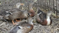 Ducks Resting on a Farm video