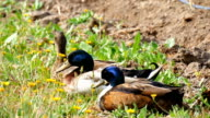 Ducks resting on the soil of an orchard video