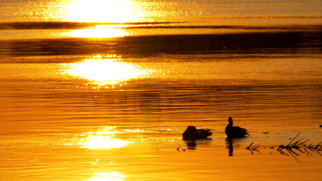 Ducks swim in waterat sunset. video