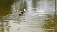 Ducks swimming in a pond video