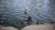 Ducks swimming in the water. video