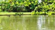 Ducks Swimming lake with lush green nature video