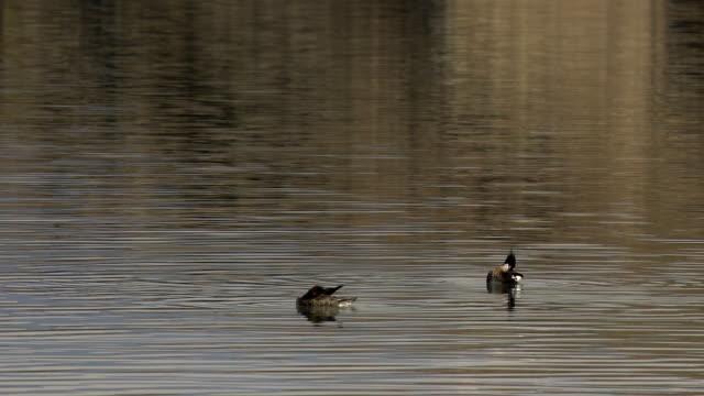 Ducks swimming on lake in summer video