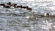 Ducks swimming video
