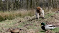 Ducks Walk Past Beautiful Monkey Eating from Ground - Barbary Macaques of Algeria & Morocco video