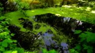 duckweed-Lemna L. video