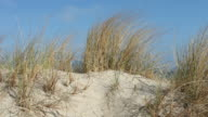dune grass at coast in wind video