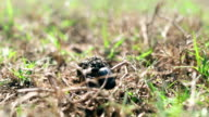Dung Beetle on work video