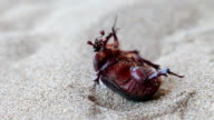 Dung beetle win the sand video
