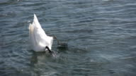 Dunking swan goes 'bottoms up'. video