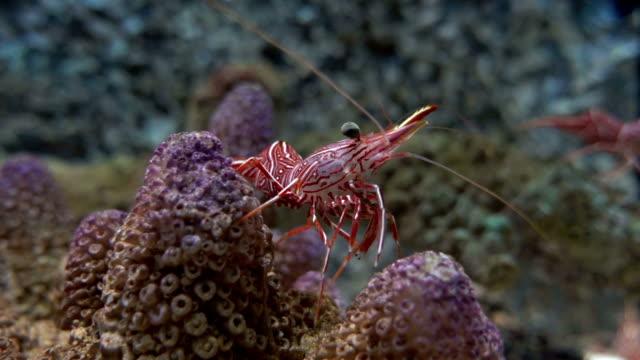 Durban hinge beak shrimp Rhynchocinetes durbanensis video