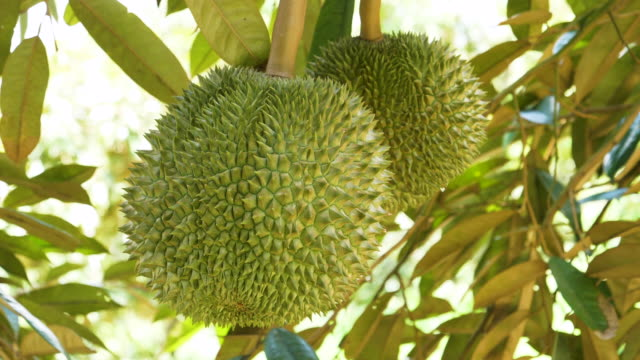 Durian On Tree video