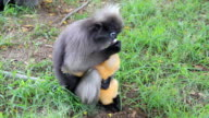Dusky leaf monkey and baby. video