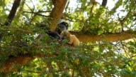 Dusky Leaf Monkey, Dusky langur, Spectacled langur video