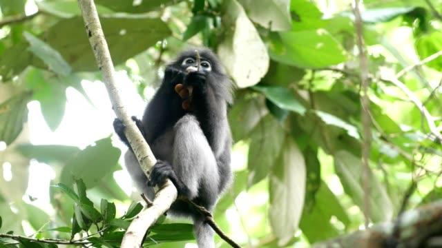 Dusky leaf monkey, Dusky langur, Spectacled langur. video