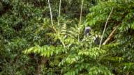 Dusky leaf monkey, Langur in Forest Eating Green Leaves, Railay, Krabi, Thailand video