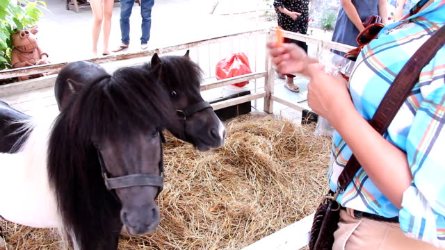 Dwarf horse video