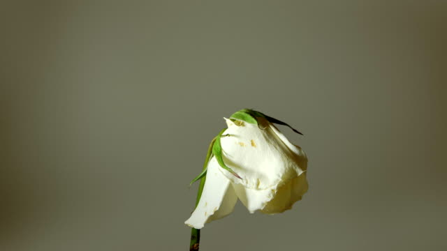 Dying White Rose with Alpha Channel video