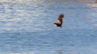 eagle catching a fish out of the water video