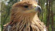 Eagle close up video
