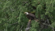 Eagle flying from perch video