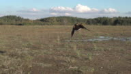 eagle flying in slowmotion video