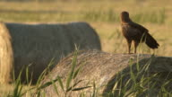 Eagle is looking for prey video