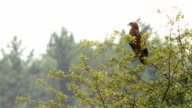 Eagle looking for prey video