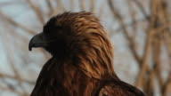 Eagle on watch video
