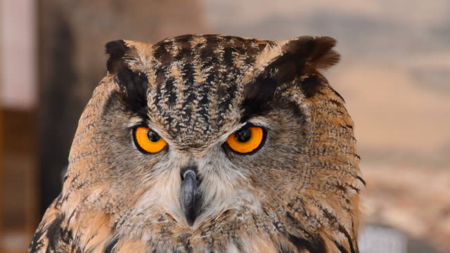 Eagle Owl in a Zoo Park video