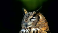 Eagle Owl. Portrait. Sleep. video