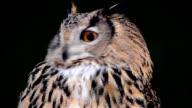 Eagle owl. Portrait video