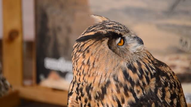 Eagle Owl Turning Head video