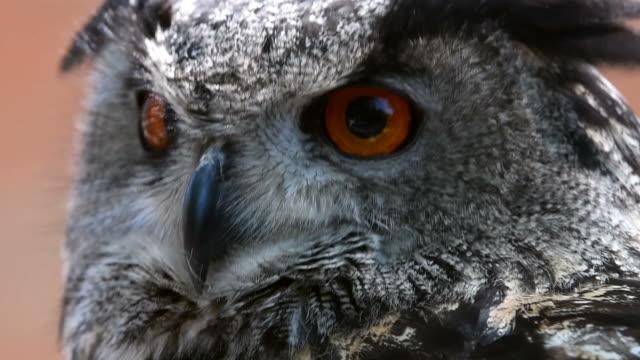 eagle owl turns head video