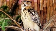 Eagle owl video