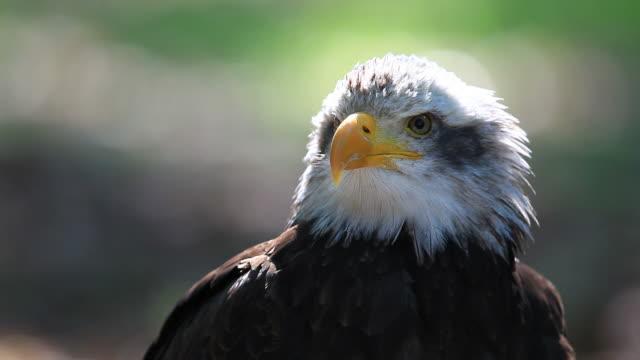 eagle video