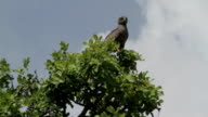 eagle watching on the top of a tree video