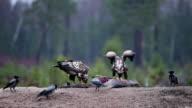 Eagles on prey video