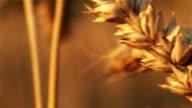 Ear of wheat in the sunbath video