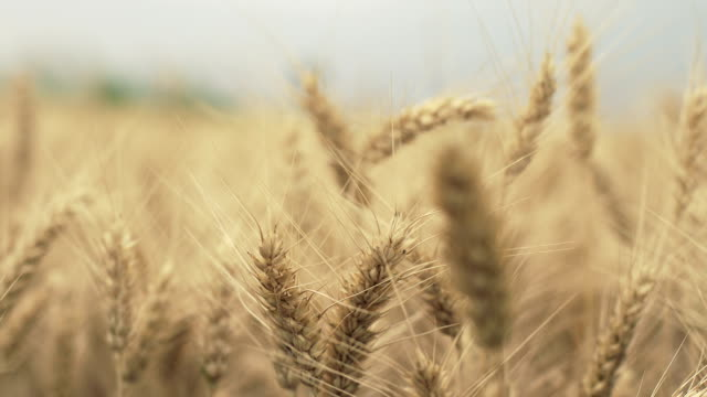 Ear of wheat swaying on wind, selective focus video