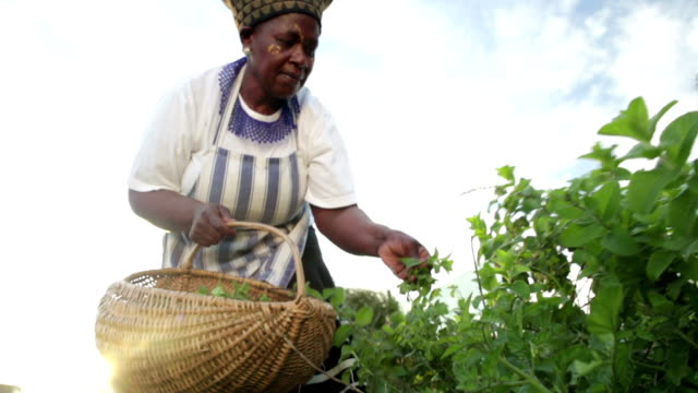 Early Morning African business woman harvesting herbs Low angle video