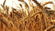 Ears of wheat in the sunset video