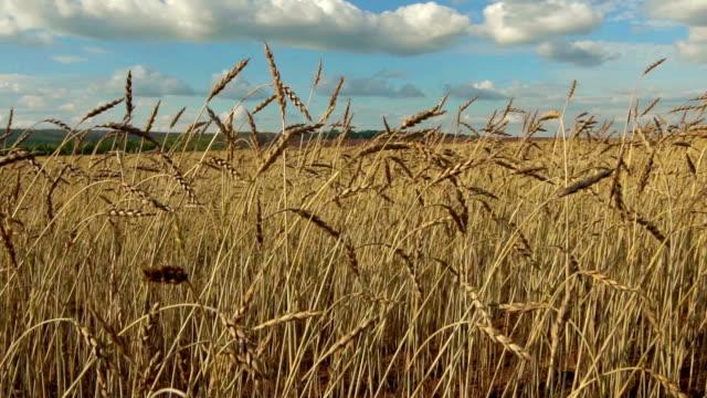 ears of wheat on a field. video