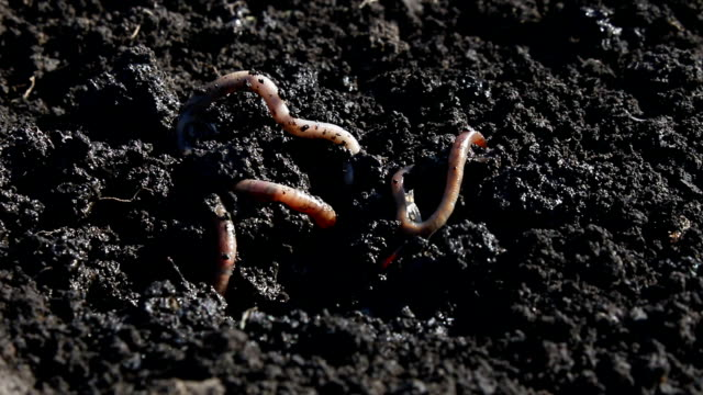 Earthworm. video