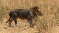 East African male lion in Savannah of Tarangire N.P. video