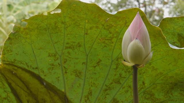 East Indian Lotus video