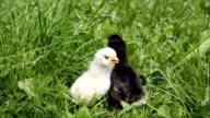 easter chicken video