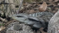 Eastern blue-tongued lizard (Tiliqua scincoides scincoides) skink video